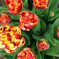 Белая гниль тюльпанов