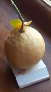 Первый урожай Лимоши съели, ждем новый