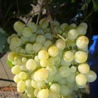 Украшенье сада - кисти винограда.