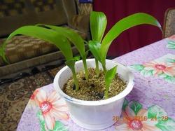 КАННЫ. Выращивание из семян