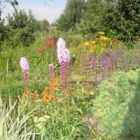 Цветок прерий - лиатрис.