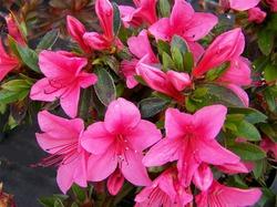 Яркое цветение Азалии