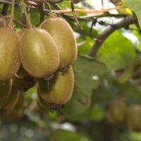 Витаминные плоды Актинидии