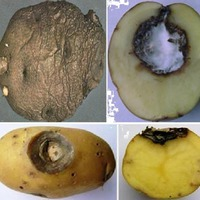 Сухая фомозная гниль картофеля