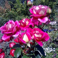 Немного роз