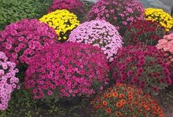 Хризантема в цветнике
