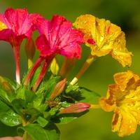 Мирабилис ялапа и его выращивание