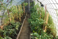 Мои перцы - урожай 2014 года