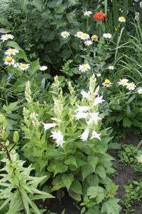 Расцвёл колокольчик широколистный белый Альба.