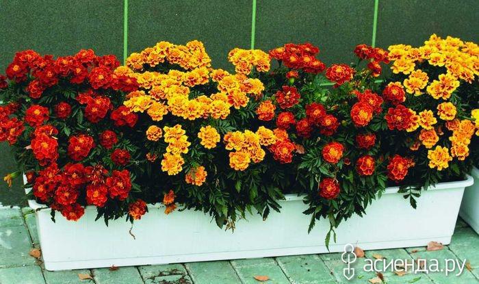 Как сажают цветы ноготки 7