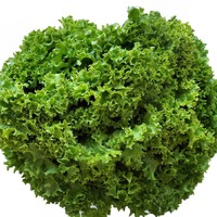 Посев салата: повторные посевы салата в середине лета