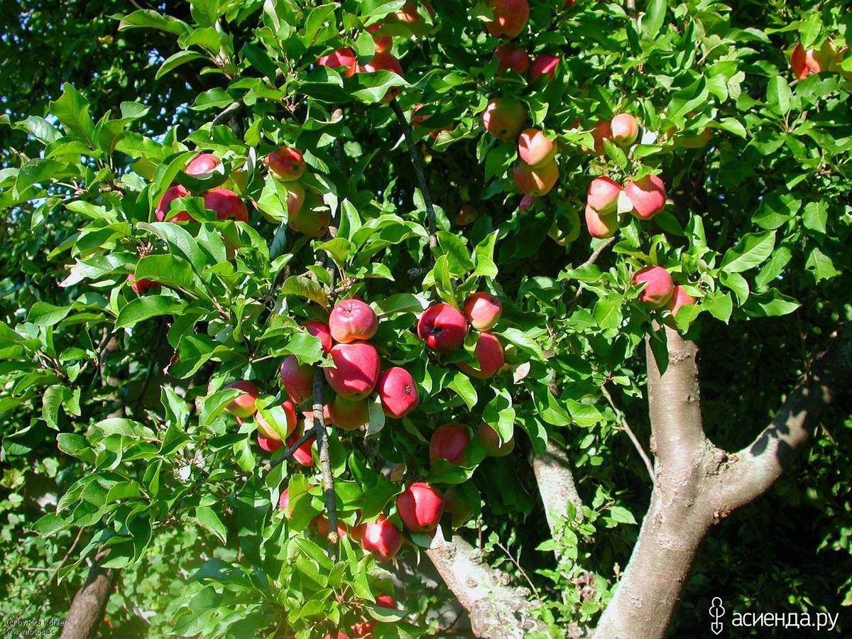 Фруктовые садовые деревья фото с названиями парикмахерских