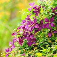 Многолетние лианы в саду