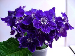 СТРЕПТОКАРПУС - gardenia.ru