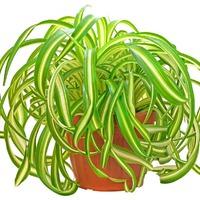Хлорофитум – любимое комнатное растение цветоводов