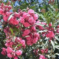 Цветущие деревья Хургады