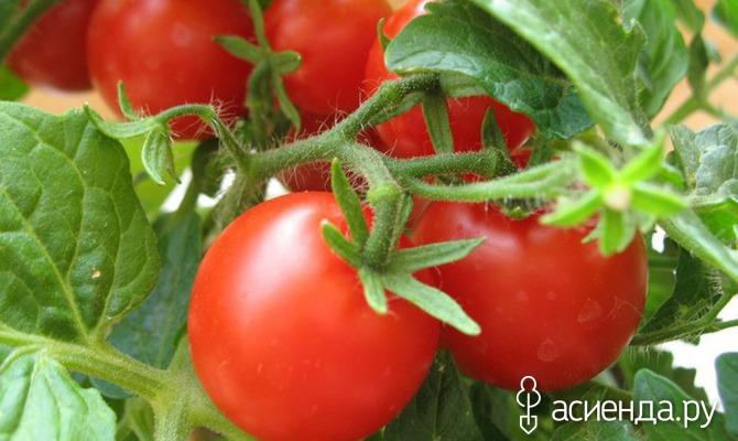 Обрезка помидор