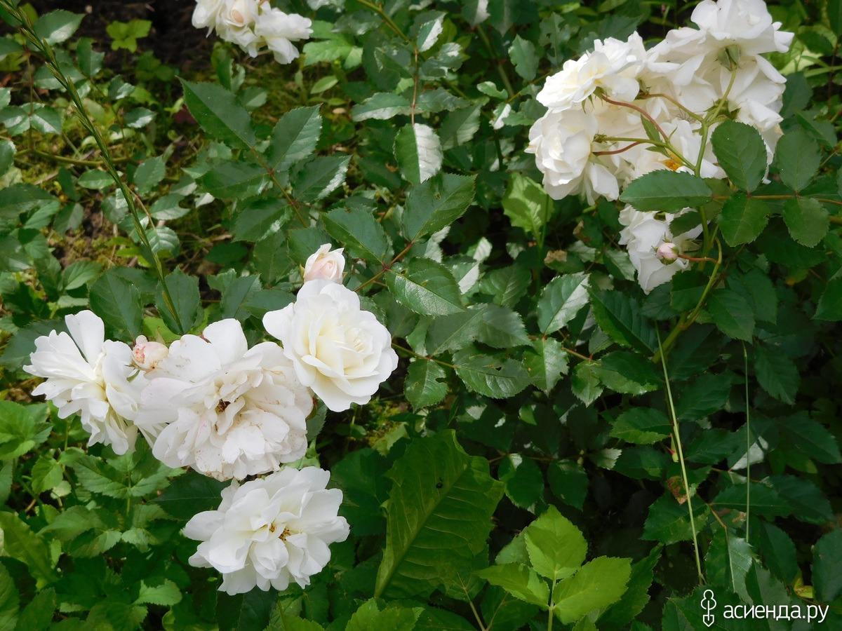А цветы с названьем глупым флоксы