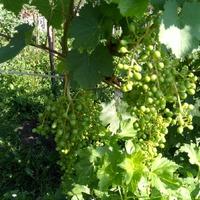 Винограда будет много... ура!!!