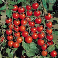 Формирование помидор