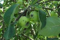 Моим яблонькам нужна помощь!