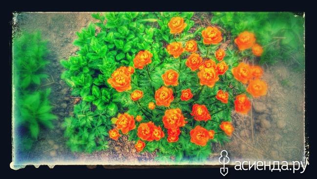 Цветы садовые лютики многолетние 42