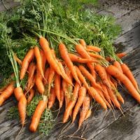 Морковь: летние посевы