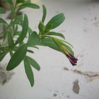 У меня получилось вырастить калибрахоа из семян! Невозможное-возможно!