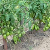 Борьба за урожай помидоров - 2016