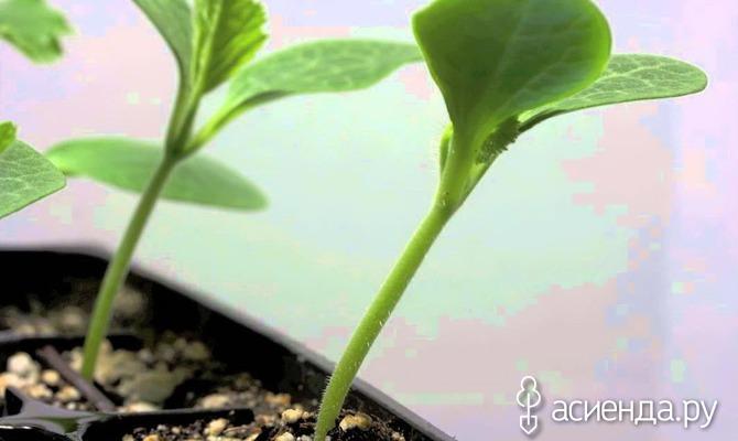 Выращивание рассады кабачков