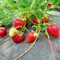 Садовая земляника: тонкости посадки