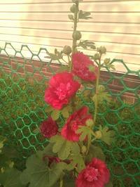 Зацвела шток-роза!