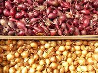 Хранение севка – забота о будущем урожае