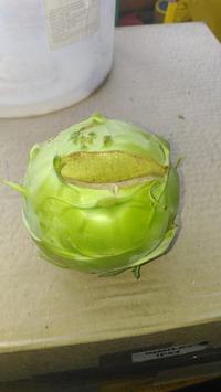 Кольраби - двулетнее растение