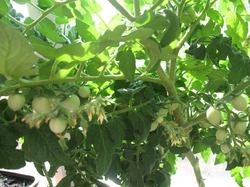 Процесс идет - помидоры на балконе..