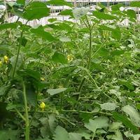 Уход за томатами в пристенной теплице