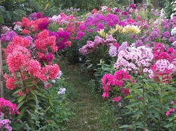 Создаём флоксарий непрерывного цветения