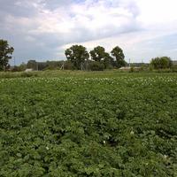 Картошка: уход за грядками летом