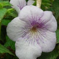 Ахименес: заведите свой волшебный цветок