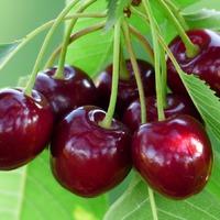 Технология сбора урожая ягод