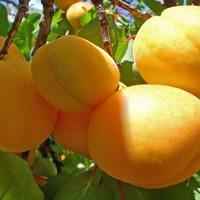 Неприметная фруктовая полосатая моль