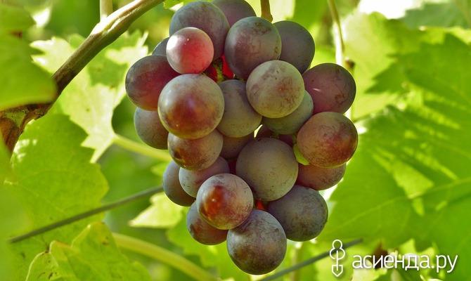 Виноград в июне: основные заботы