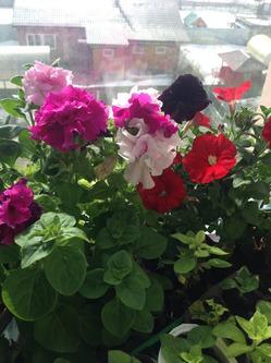 Цветут бегонии и петуньи