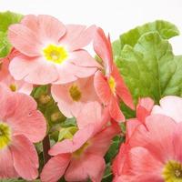 Первоцвет: размножаем семенами и делением куста
