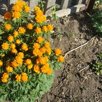 Цветущие дачные цветы