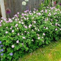 Для тех, кто любит садовую герань или что ещё цветет в саду...