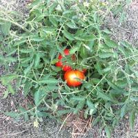 Первые помидорки этого года