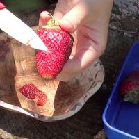 Собираю семена с клубники