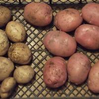Ранние сорта картошки.