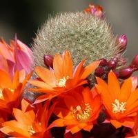 Кактусы: роскошное цветение колючих растений